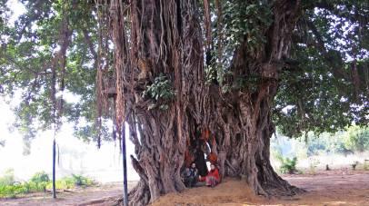 Viaggio di Ricerca in India del nord e Nepal - Albero di Banyan, Bodhbaya India